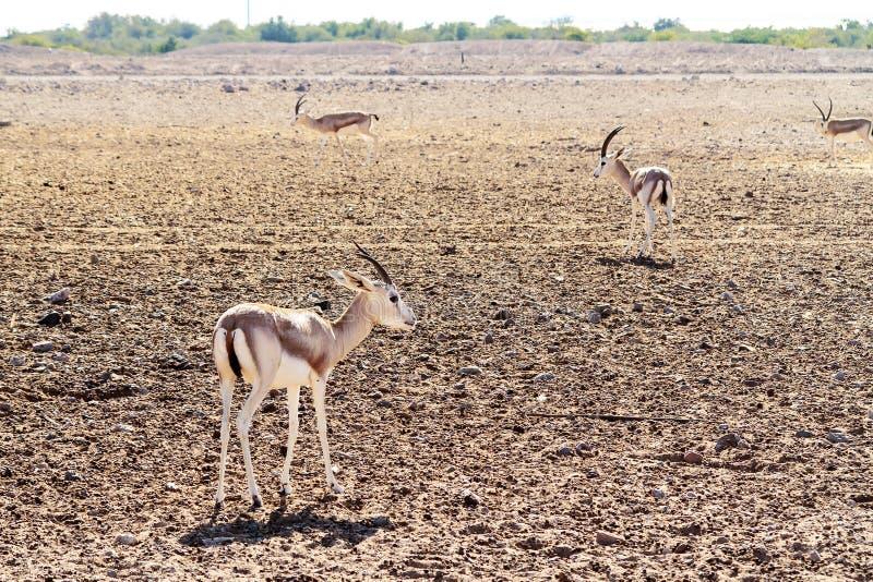 Giovani antilopi in un parco di safari sull'isola di Sir Bani Yas, Emirati Arabi Uniti fotografia stock