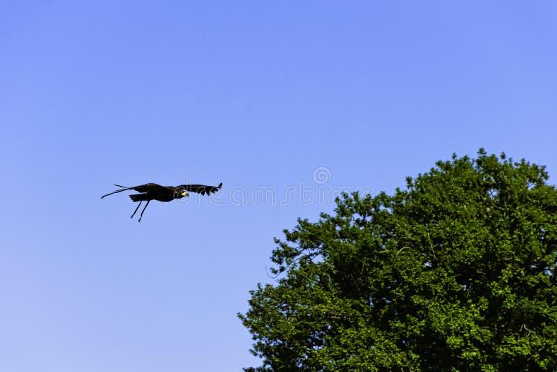 Giovani aquila calva/leucocephalus del Haliaeetus fotografia stock
