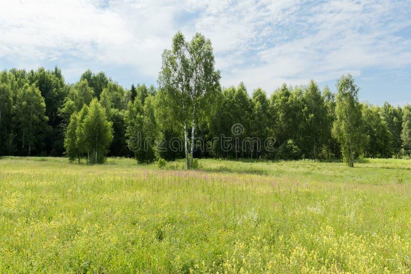 Giovani betulle verdi in un prato al bordo della foresta su una chiara mattina soleggiata Nuvole nel cielo ed in un prato di fior immagini stock
