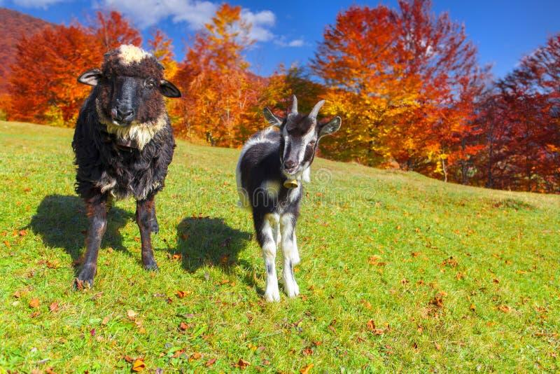 Giovani capra e pecore sul pascolo fotografie stock