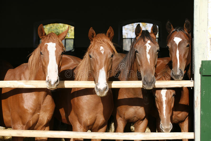 Giovani cavalli del purosangue piacevole che stanno al summe stabile della porta immagine stock libera da diritti