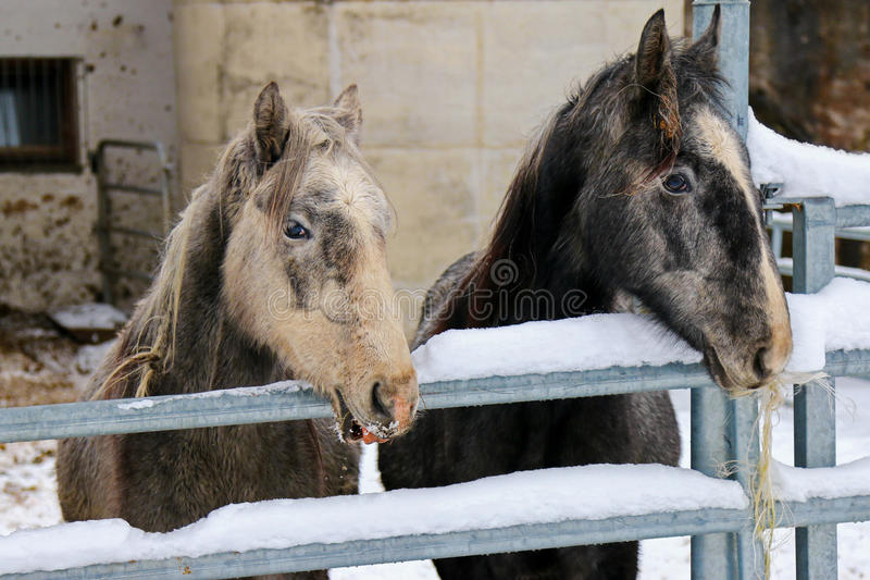 Giovani cavalli di Lipizzan che stanno dietro il recinto del metallo fotografia stock libera da diritti