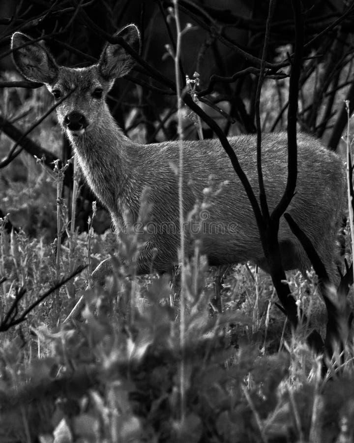 Giovani cervi di Calabasas California fotografie stock libere da diritti