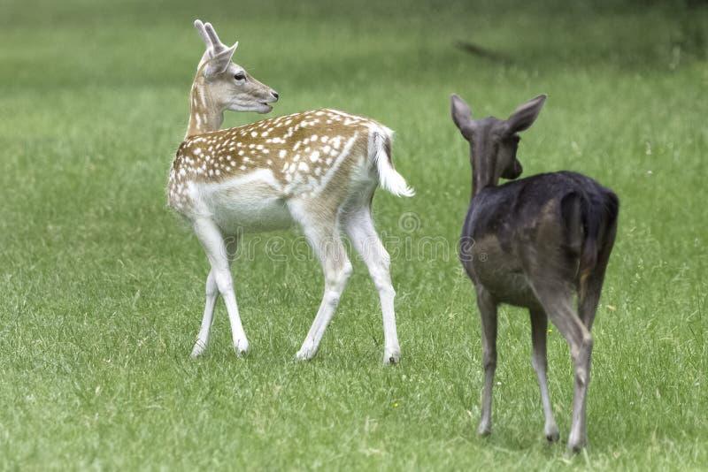 Giovani cervi selvaggi - Londra, Regno Unito immagine stock libera da diritti