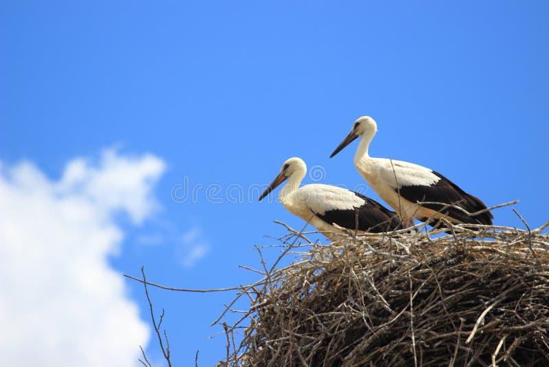 Giovani cicogne in nido immagine stock libera da diritti