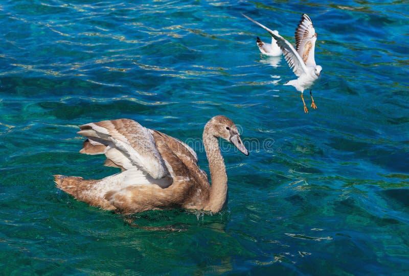 Giovani cigno e gabbiani sul lago Lemano fotografia stock