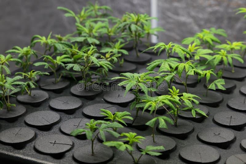 Giovani cloni freschi della cannabis del taglio fotografia stock libera da diritti
