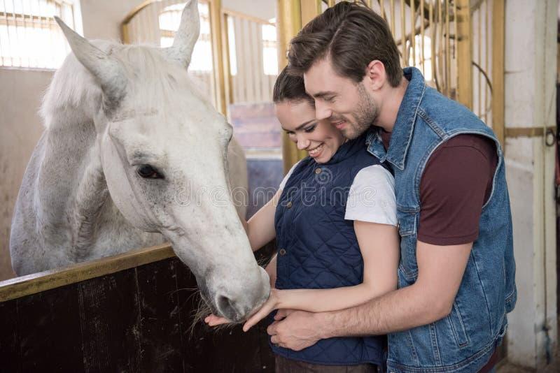 Giovani coppie che alimentano bello cavallo di razza bianco fotografia stock libera da diritti