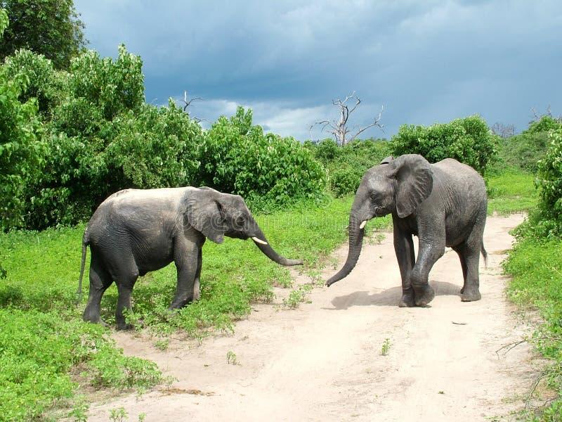 Giovani coppie dell'elefante fotografia stock libera da diritti