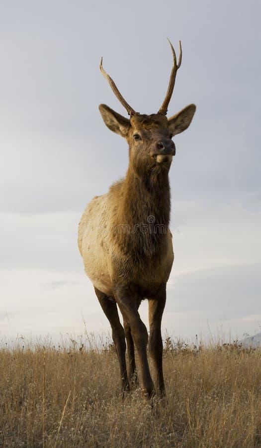 Giovani corni maschii degli alci che si levano in piedi il Montana immagine stock libera da diritti
