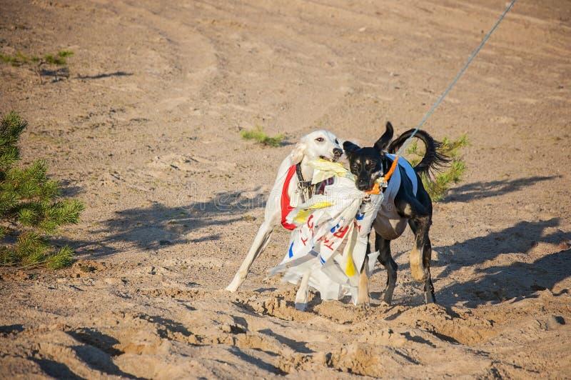 Giovani cuccioli attenti bianchi e neri di saluki che corrono all'aperto nel tempo caldo adorabile di estate in Finlandia Avere r fotografie stock