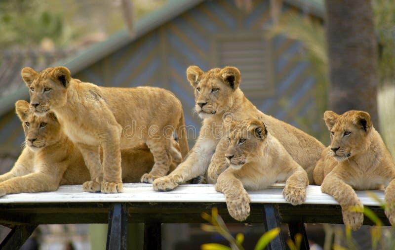 Giovani cuccioli di leone che aspettano i loro genitori per ritornare fotografia stock