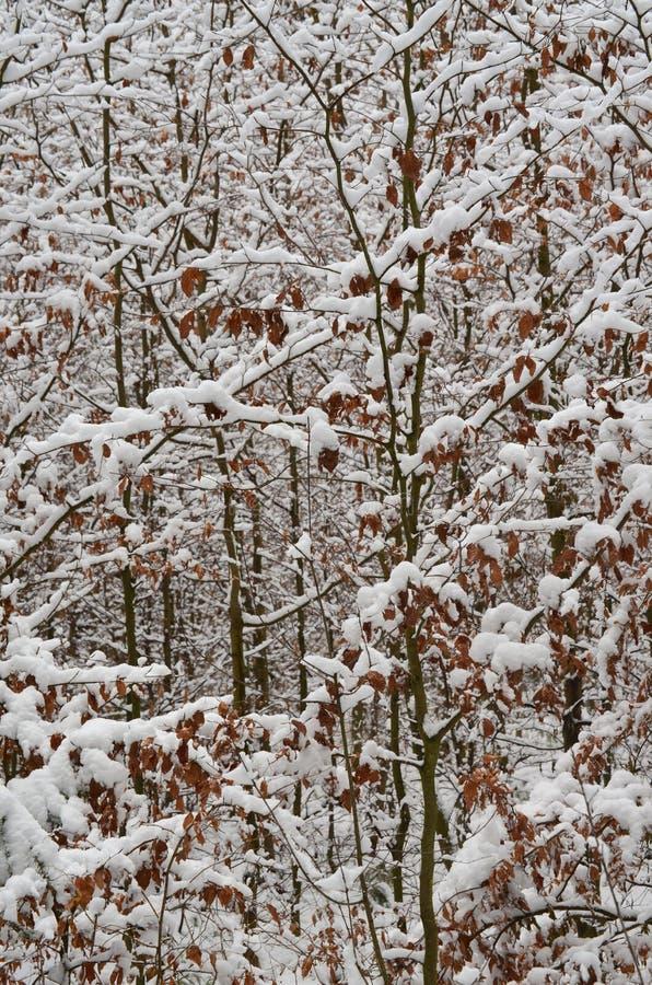 Giovani faggi spruzzati con neve fotografia stock libera da diritti