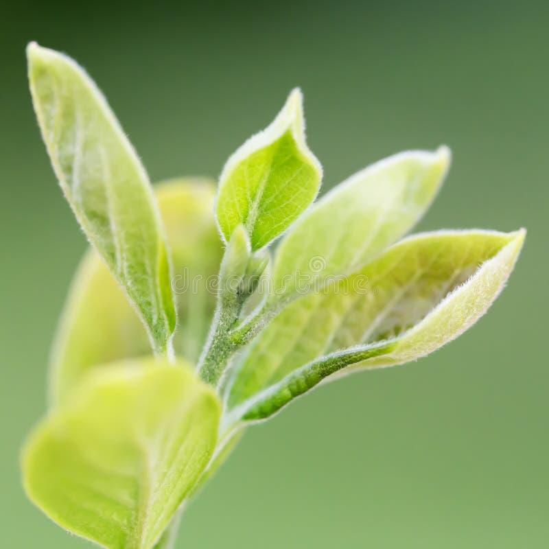 Giovani foglie del cachi fotografia stock