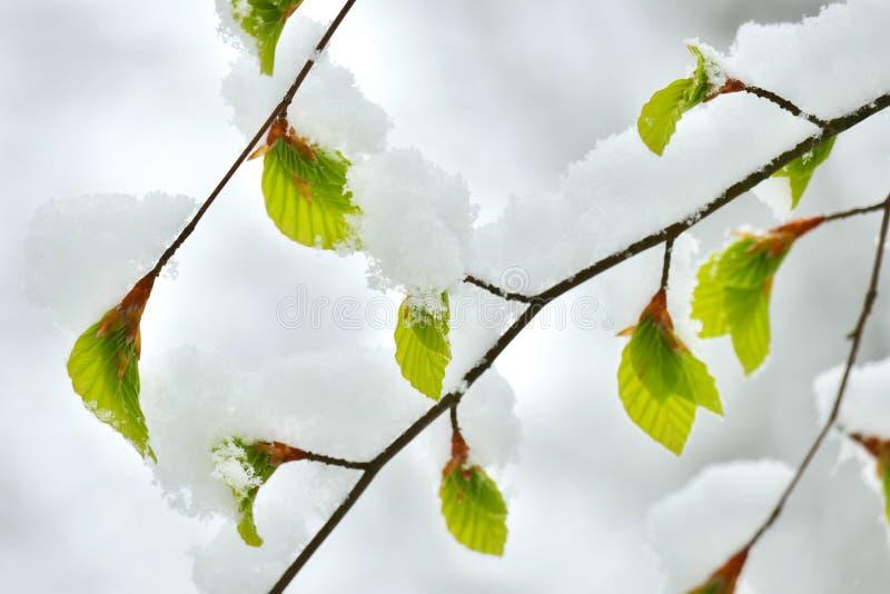 Giovani foglie del faggio coperte in neve immagini stock