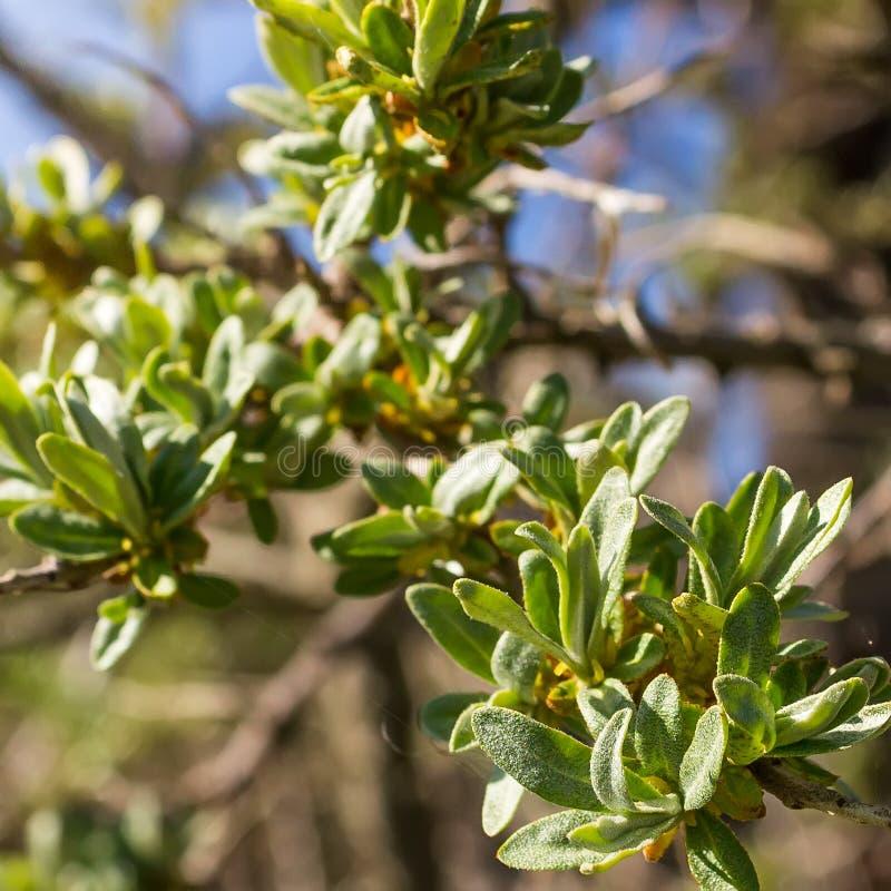 Giovani foglie dell'olivello spinoso immagine stock libera da diritti