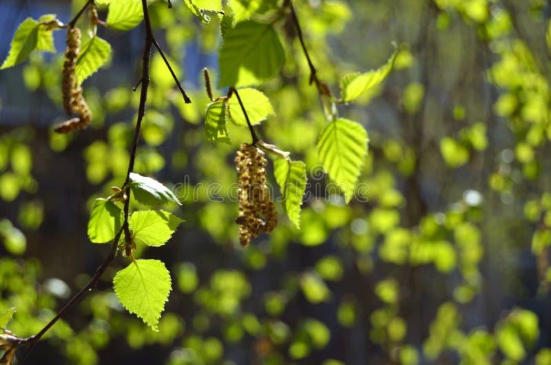 Giovani foglie della betulla in primavera immagine stock
