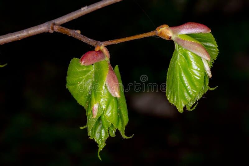 Giovani foglie della calce Tiglio germogliante fotografie stock