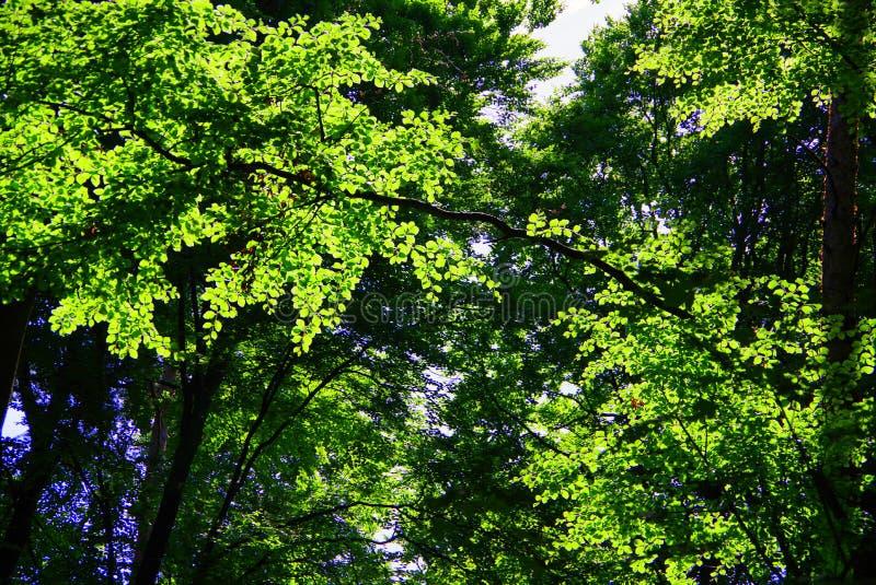 Giovani foglie della molla in verde chiaro luminoso immagine stock libera da diritti