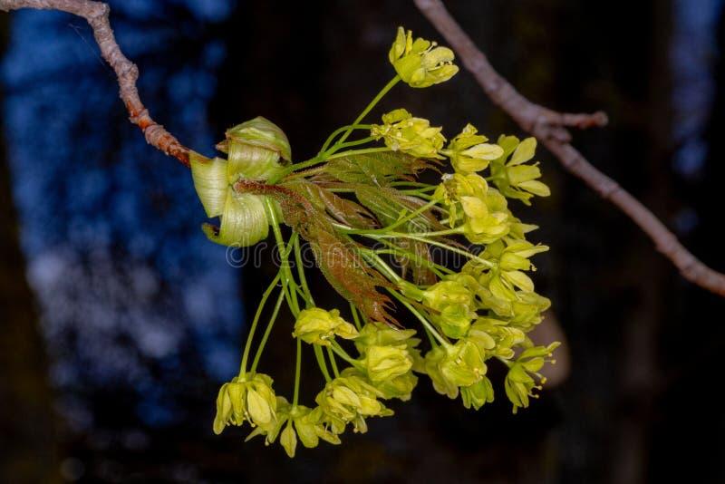 Giovani foglie di acero Germogli della primavera immagini stock