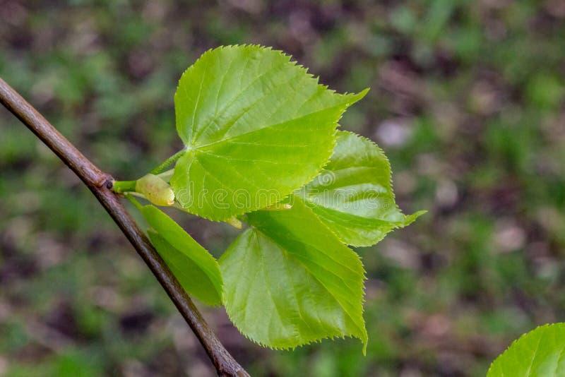 Giovani foglie di di limetta immagini stock
