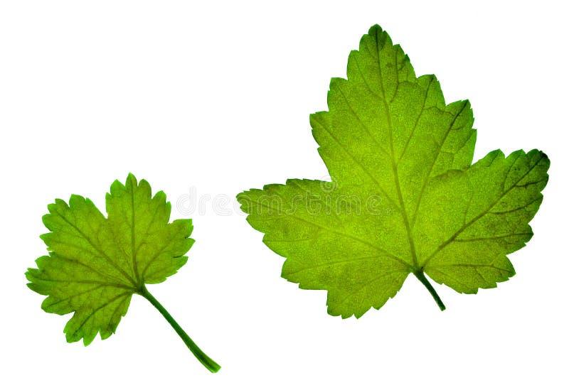 Giovani foglie verdi del ribes, isolate Medicina alternativa Il perforatum di erbe di Medicine immagini stock