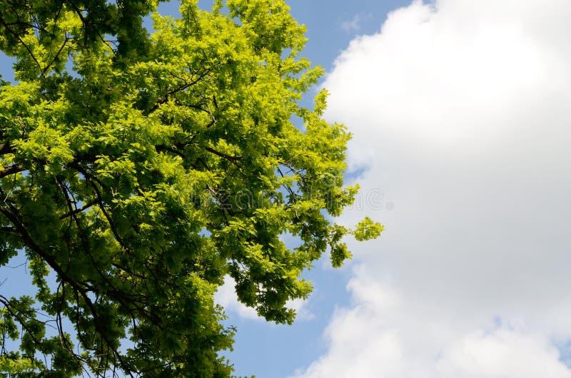 Giovani foglie verdi della bella foresta della primavera delle querce contro gli aumenti luminosi del cielo blu e del sole della  immagini stock