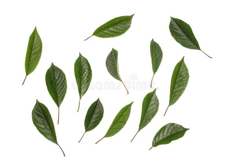 Giovani foglie verdi della ciliegia isolate su fondo bianco fotografia stock libera da diritti