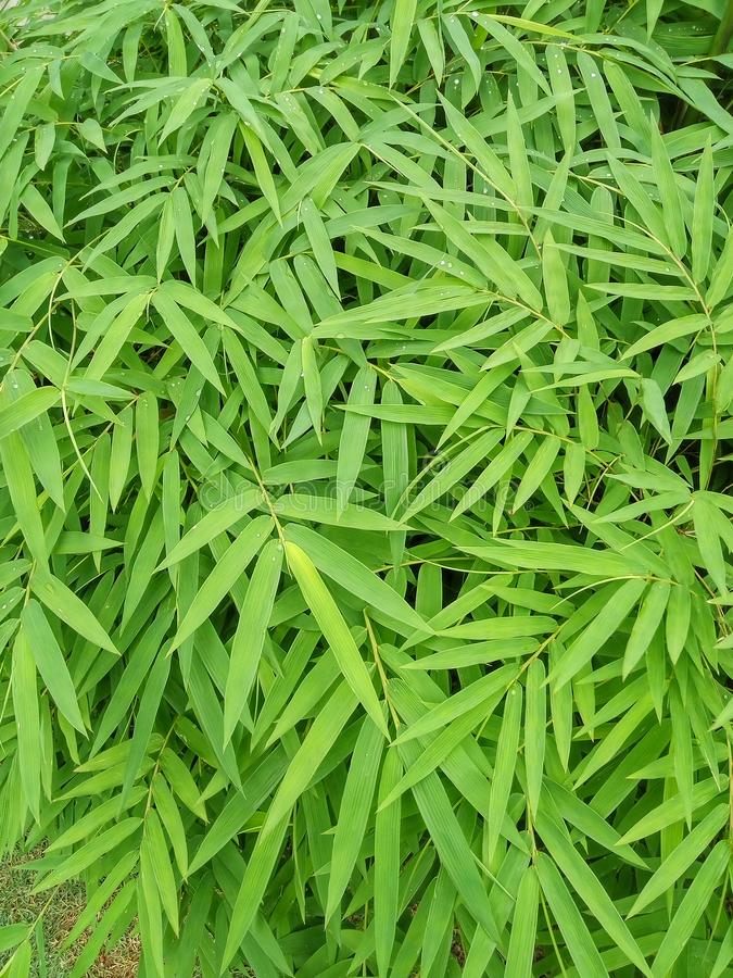 Giovani foglie verdi di bambù fotografia stock