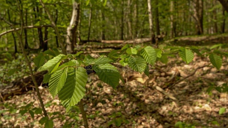 Giovani foglie verdi fresche del faggio fotografia stock libera da diritti