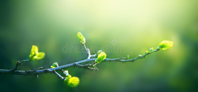 Giovani foglie verdi fresche dell'albero del ramoscello che crescono in primavera fotografia stock libera da diritti