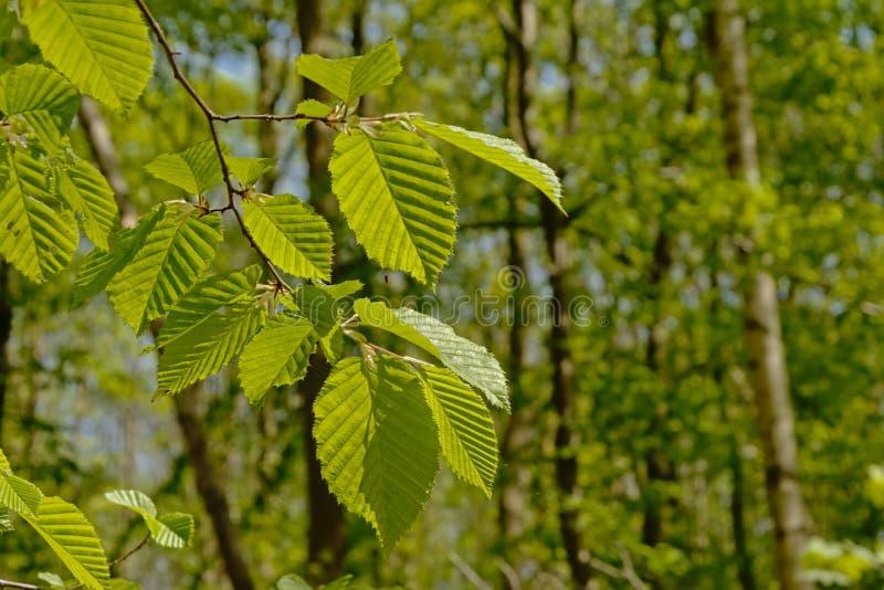 Giovani foglie verdi fresche soleggiate del faggio immagini stock
