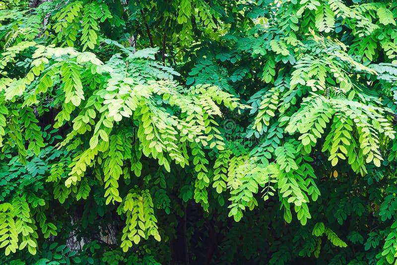 Giovani foglie verdi sui rami dell'acacia fotografie stock