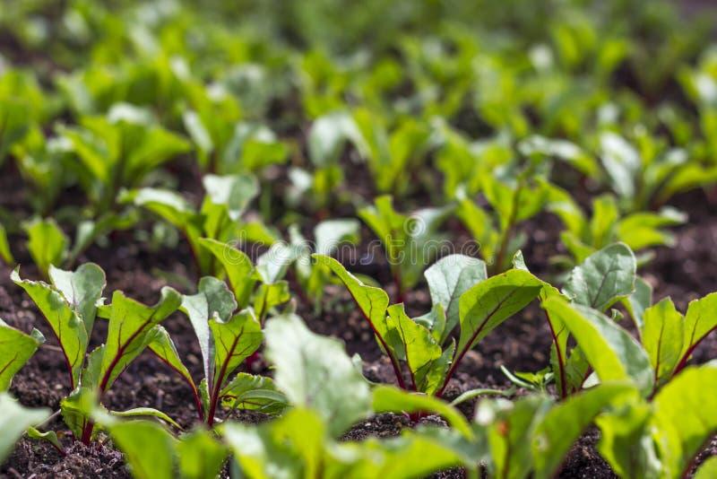 Giovani germogli della barbabietola Barbabietola che cresce nei germogli del giardino fotografia stock libera da diritti