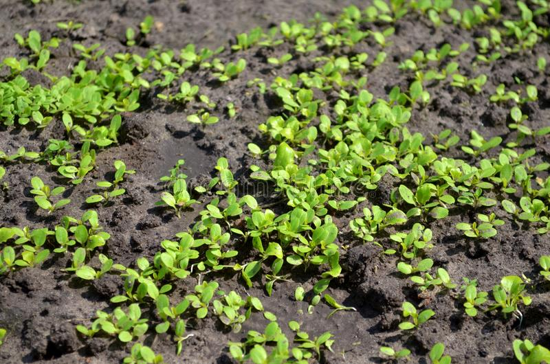 Giovani germogli di insalata nel giardino sul sole, piantati densamente immagini stock libere da diritti