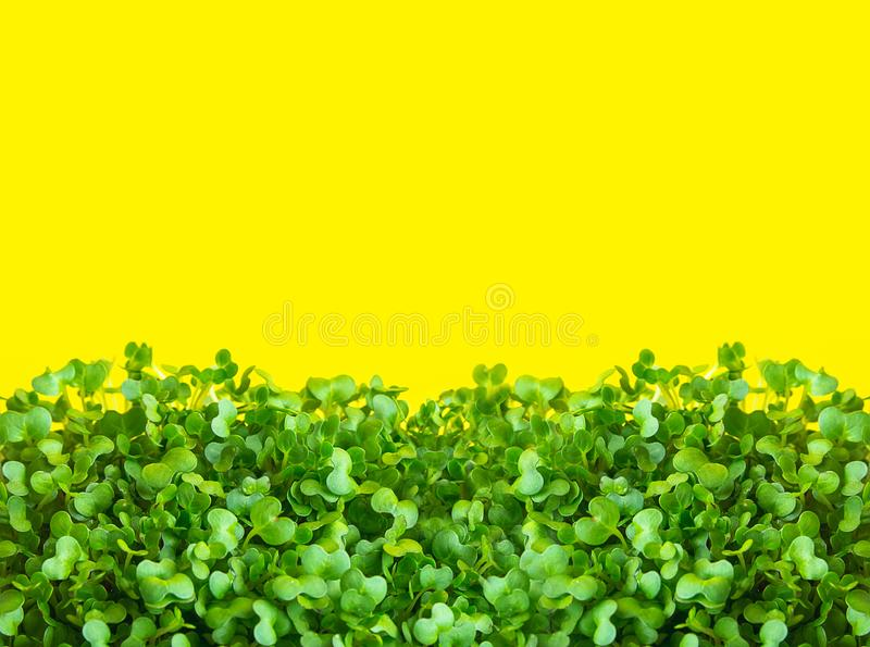 Giovani germogli verdi freschi di crescione acquatico conservato in vaso su fondo giallo soleggiato Dieta basata pianta sana di g fotografia stock