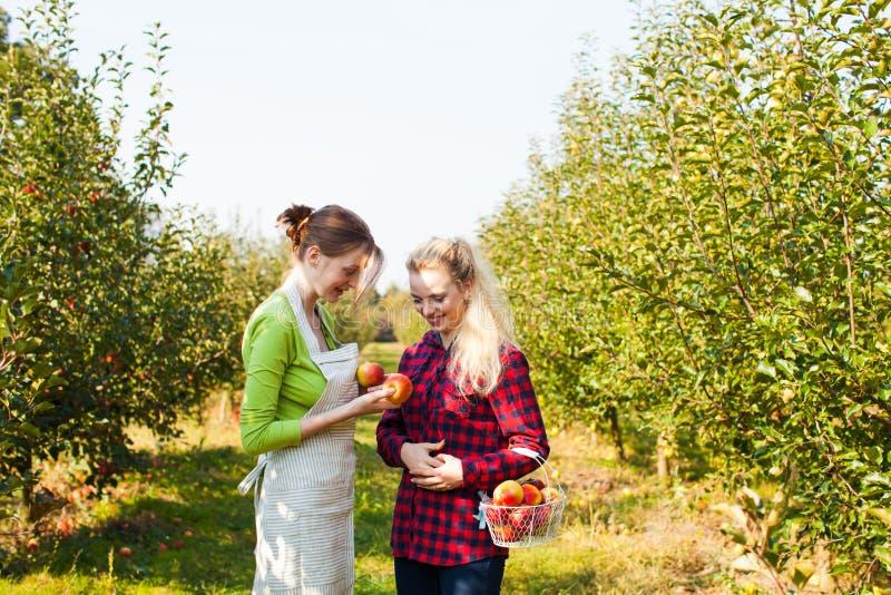 Giovani giardinieri che esaminano le loro mele raccolte immagine stock libera da diritti
