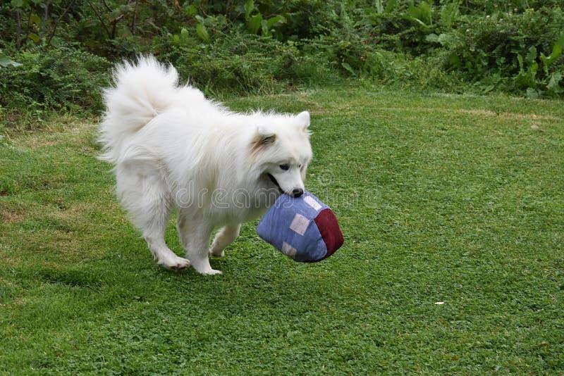 Giovani giochi samoiedi del cane nel giardino fotografie stock