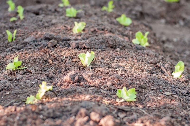 Giovani lattughe piantate fotografie stock libere da diritti