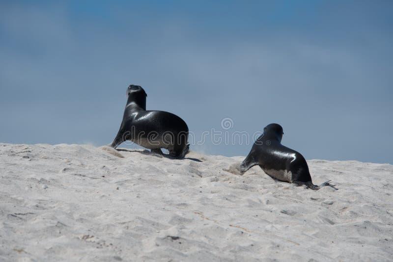 Giovani leoni marini in Galapagos immagini stock libere da diritti
