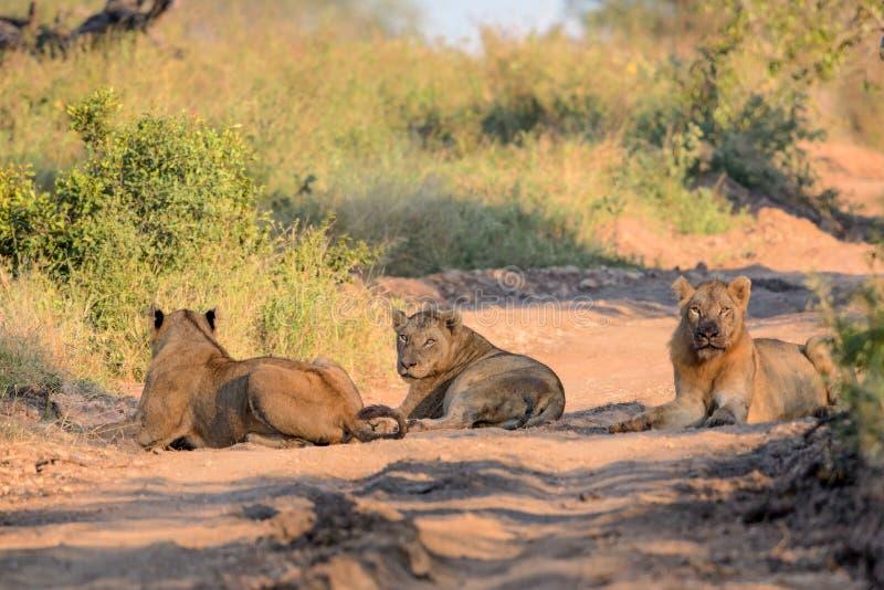 Giovani leoni maschii nel parco nazionale di Kruger fotografia stock