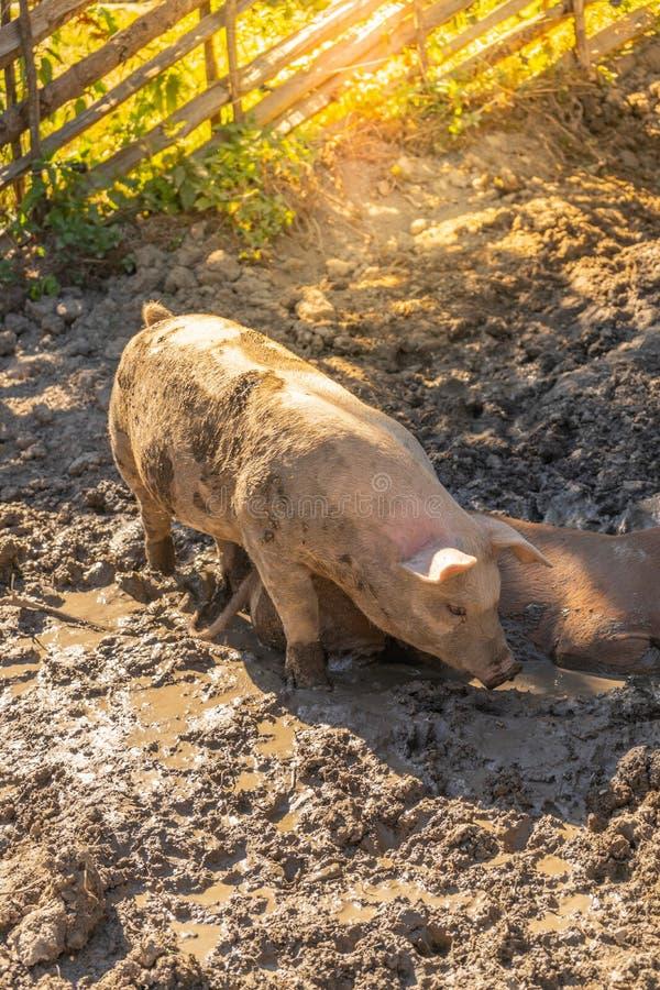 Giovani maiali che godono del bagno della sporcizia su un'azienda agricola di eco immagini stock