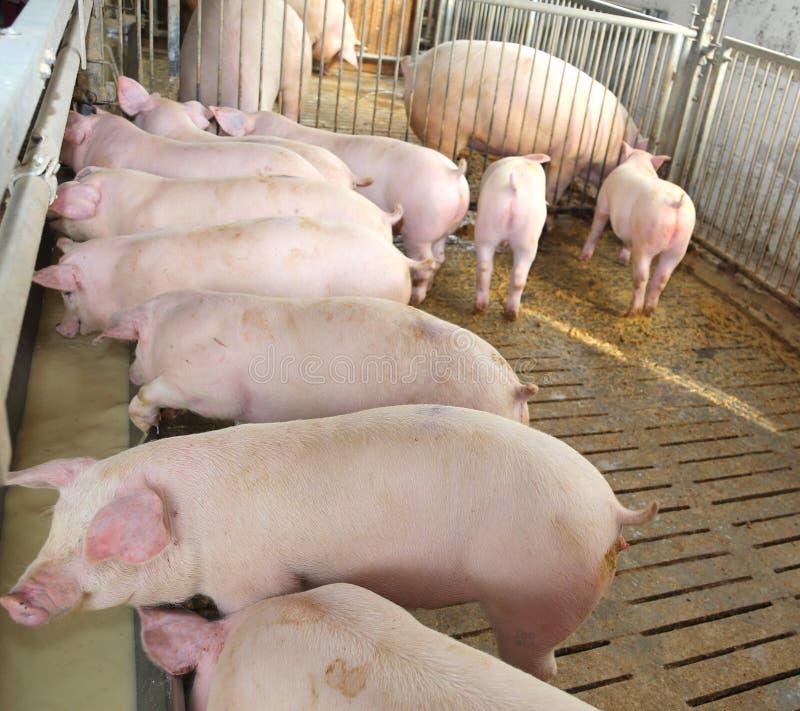 Giovani maiali rosa nel porcile dell'azienda agricola fotografia stock