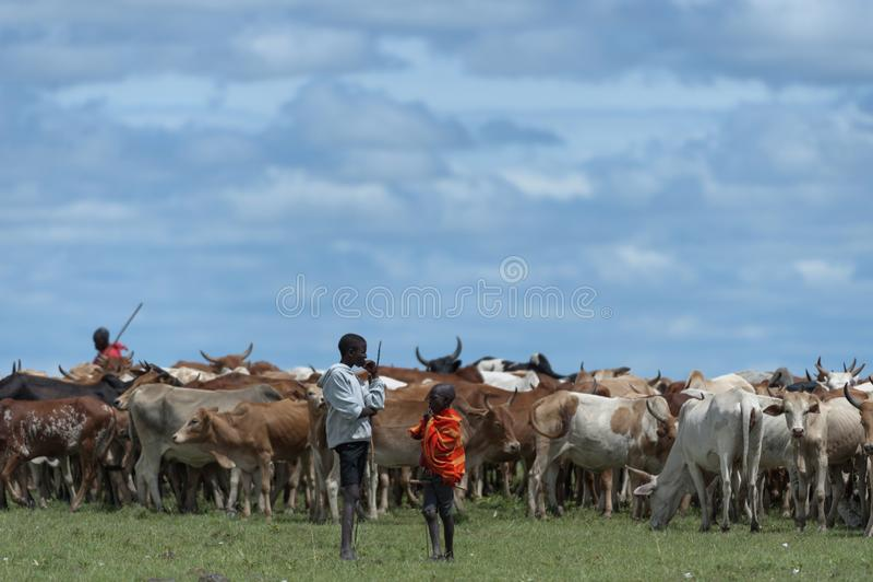 Giovani mandriani che radunano gregge del bestiame africano fotografia stock