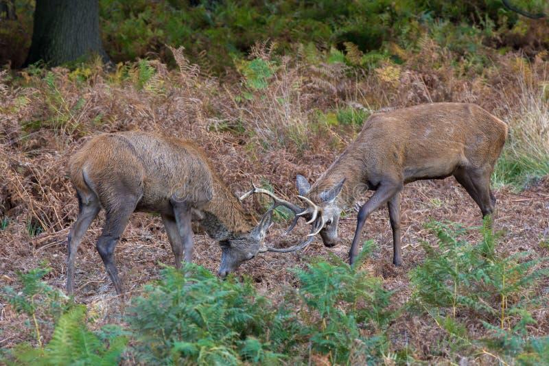 Giovani maschi dei cervi nobili in fregola immagine stock