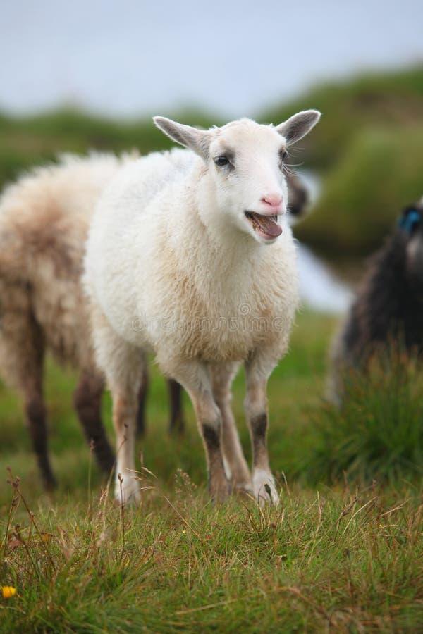 Giovani pecore, belato dell'agnello nella moltitudine fotografia stock