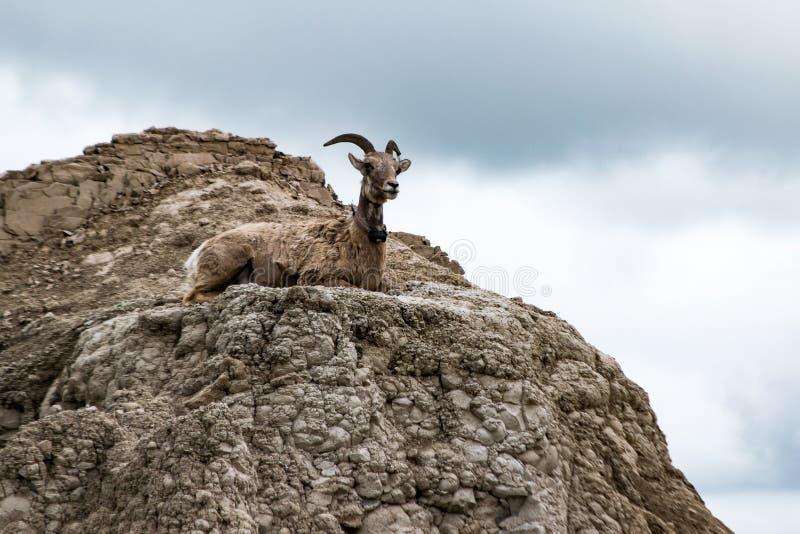 Giovani pecore Bighorn femminili sull'allerta immagini stock