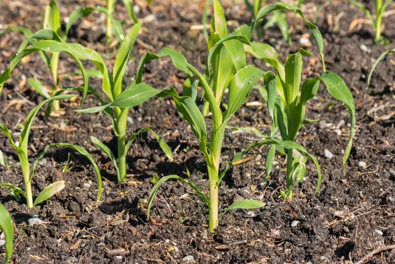 Giovani piante di cereale che crescono nel giardino organico immagini stock