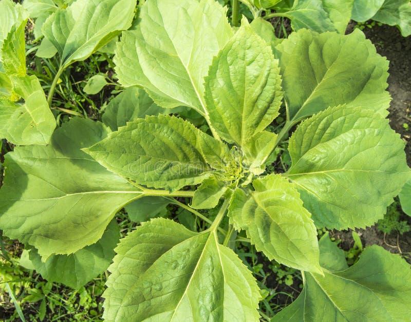 Giovani piante di girasole, fusti e foglie verdi, vista superiore, all'aperto, in giardino su un letto di verdura fotografie stock