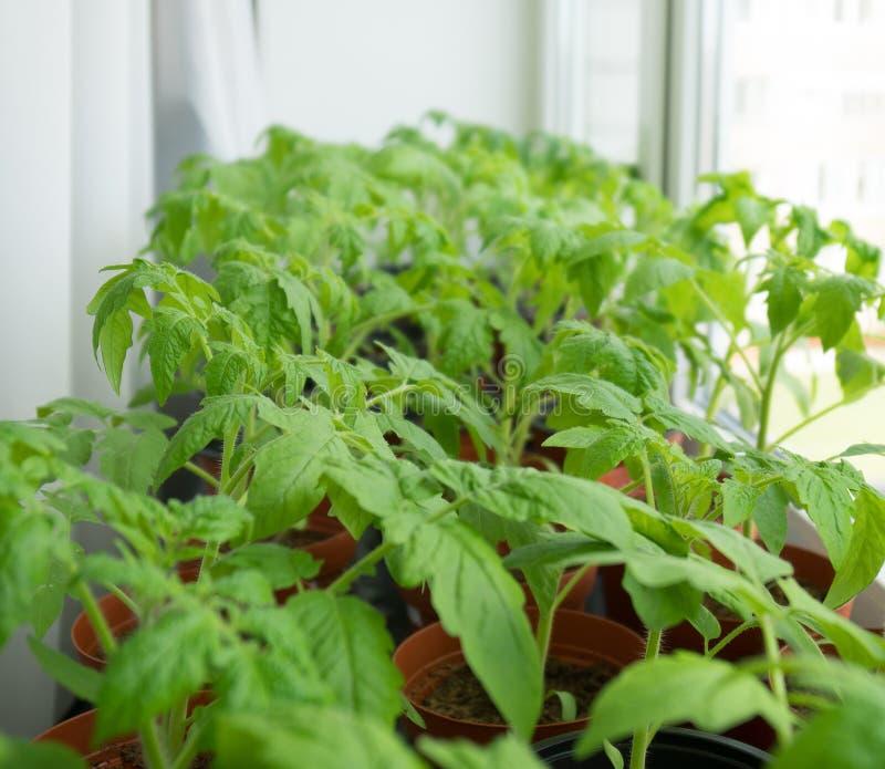 Giovani piante di pomodori fotografia stock